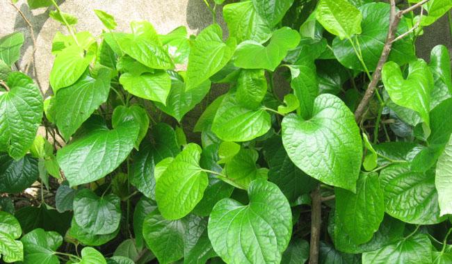 Công dụng chữa bệnh từ cây Lá lốt