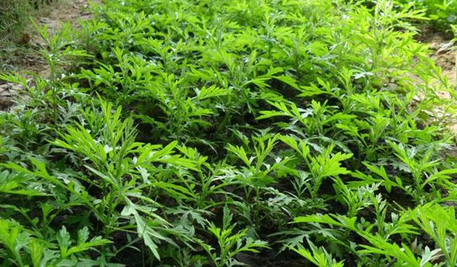 Bài thuốc trị bệnh hiệu quả từ cây Ngải cứu